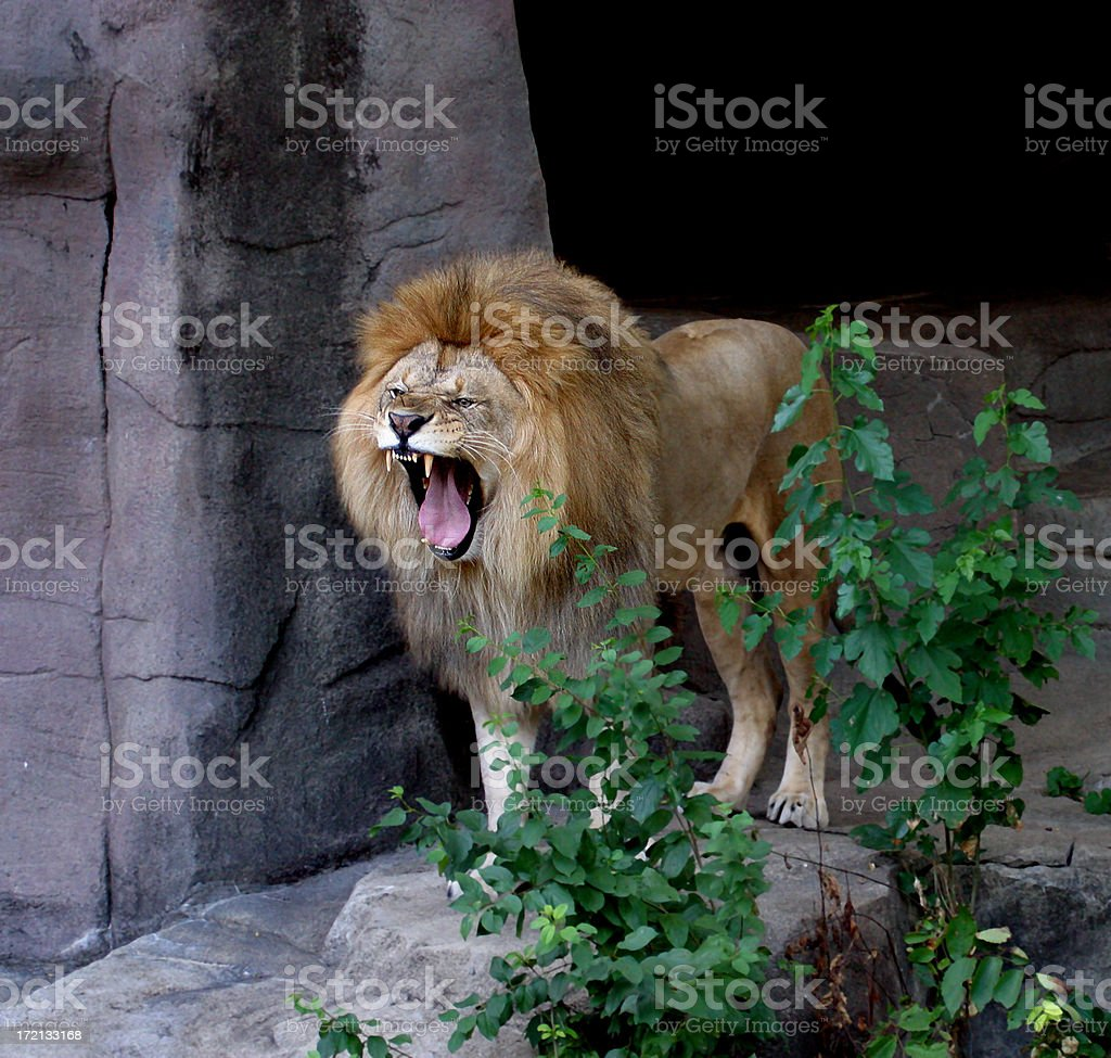 Lion Roaring royalty-free stock photo