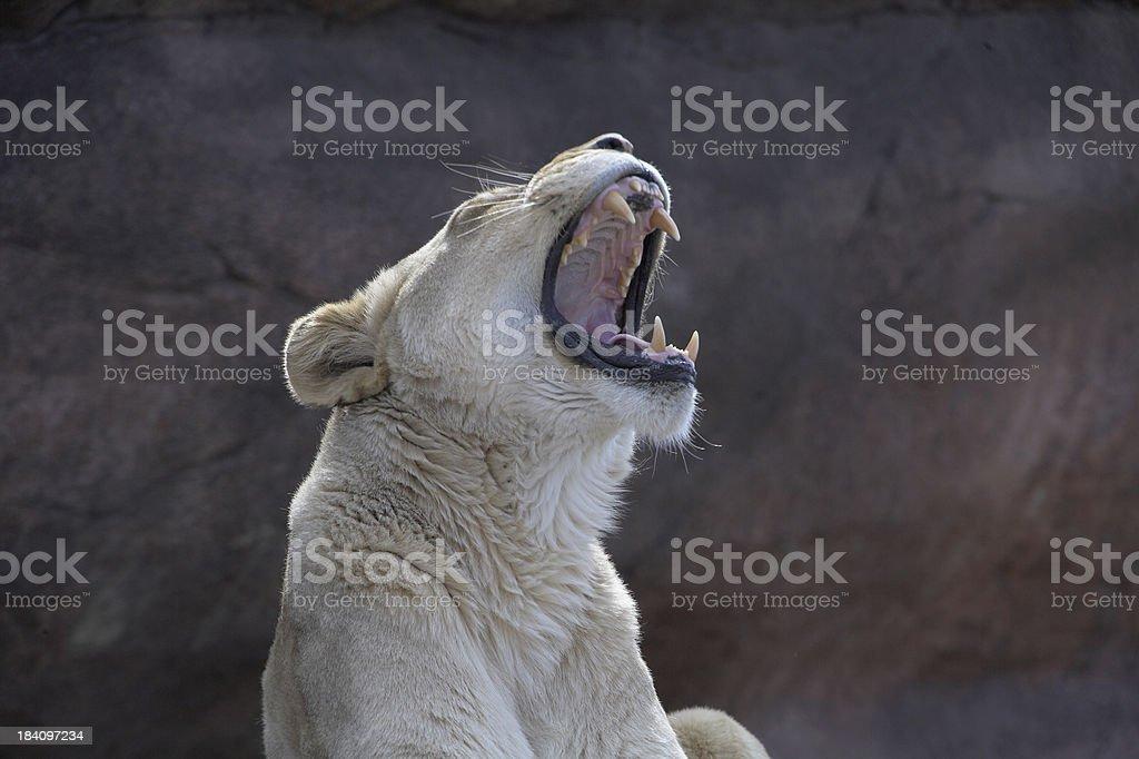 Lion roaring royalty-free stock photo