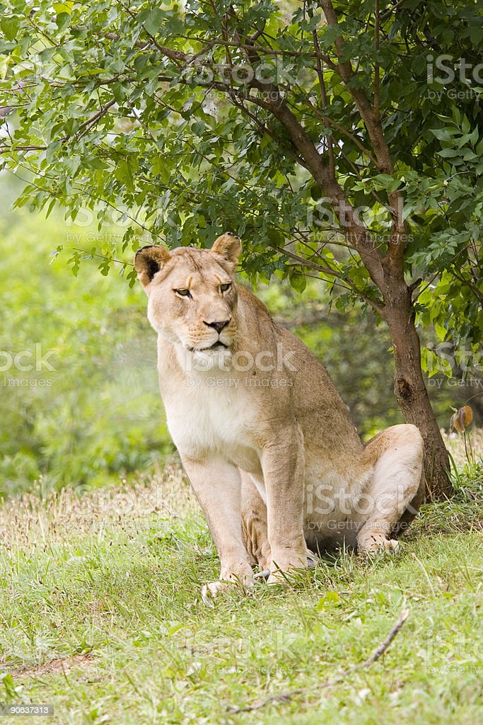 Lion Sitting stock photo