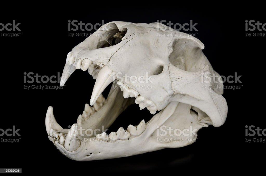 Lion Skull stock photo
