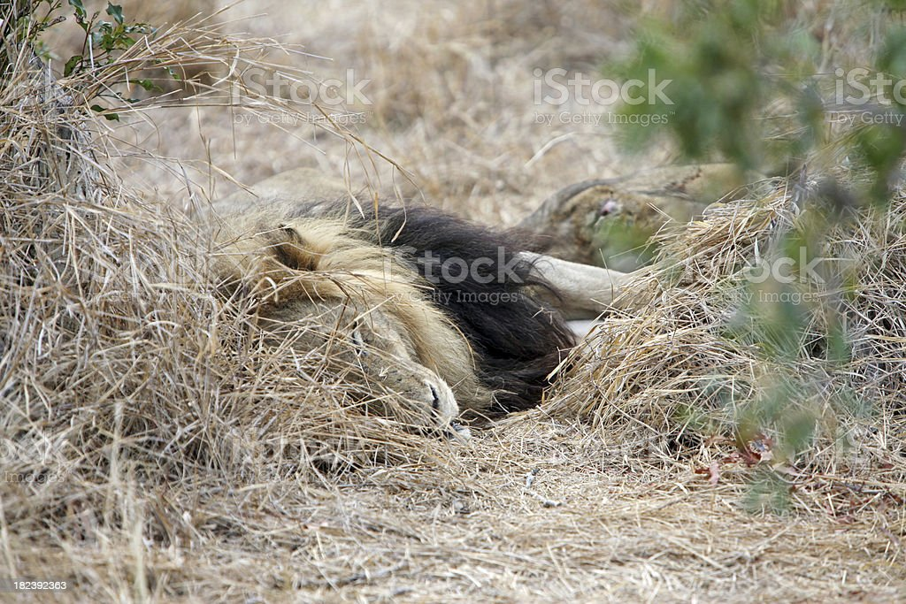 Lion Sleeping On Grass stock photo