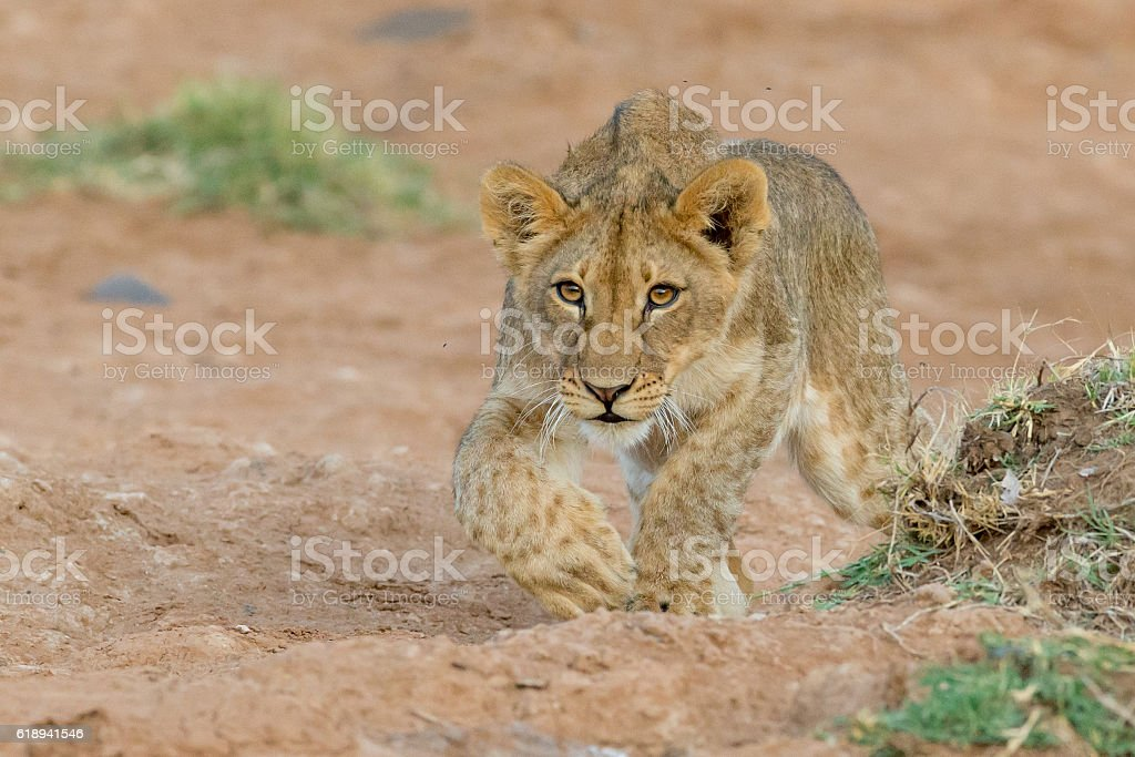 Lion stalking stock photo