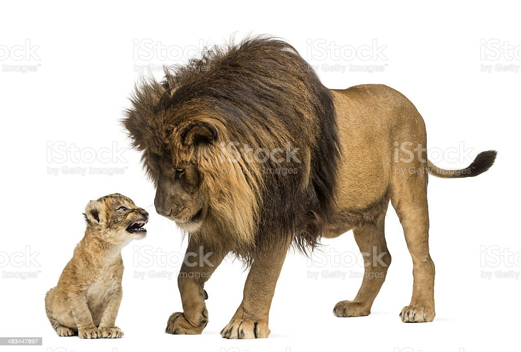 Lion standing and looking a cub stock photo