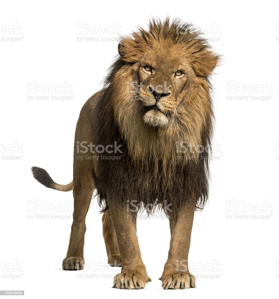 Lion standing, looking at the camera, Panthera Leo, 10 years royalty-free stock photo