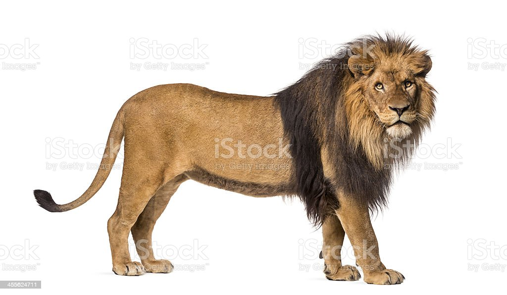 Lion standing, looking at the camera, Panthera Leo, isolated stock photo
