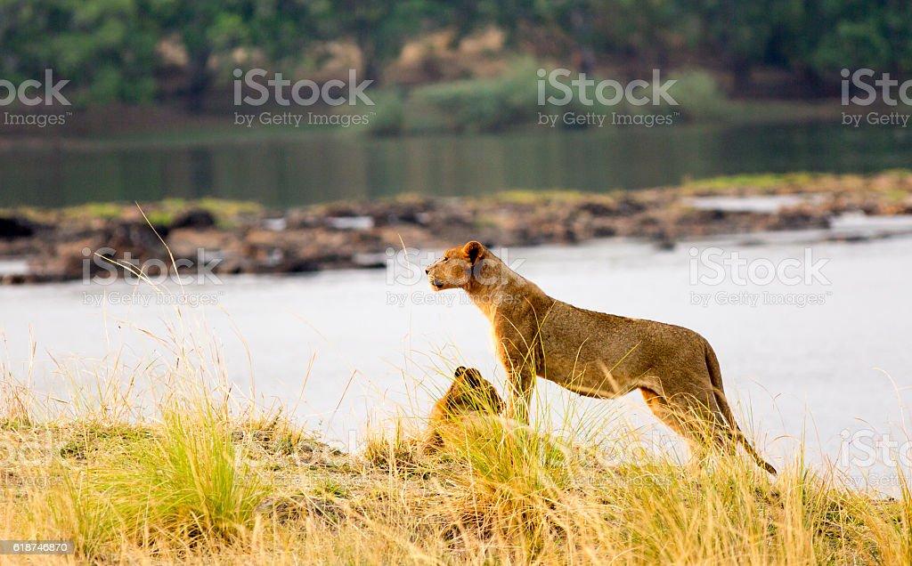 Lion standing on the bank of the Zambezi River stock photo