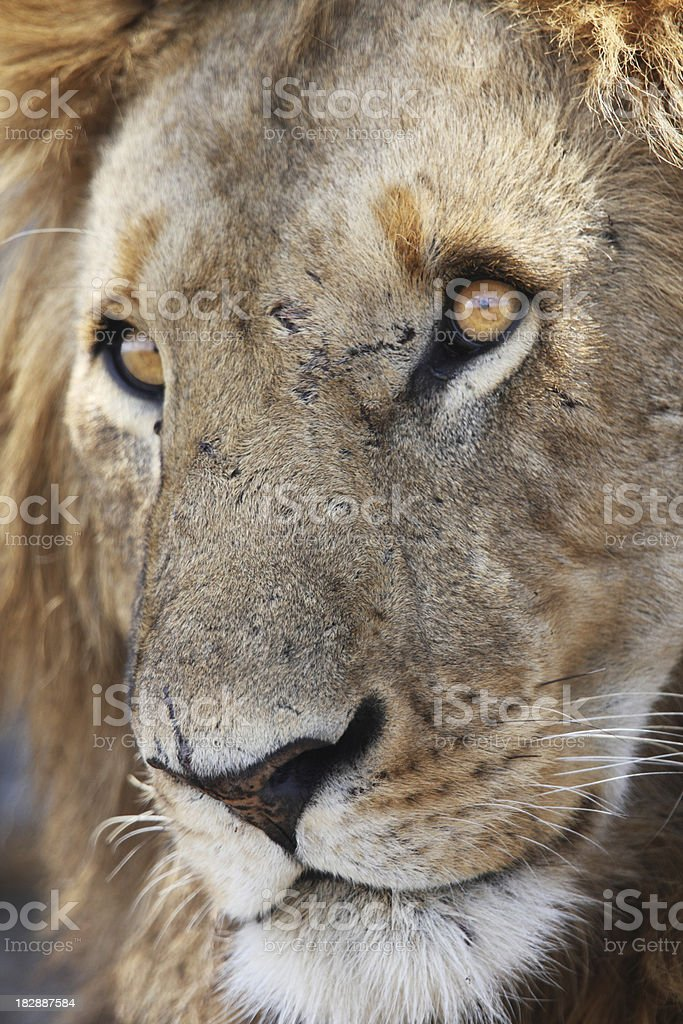 Lion stare royalty-free stock photo
