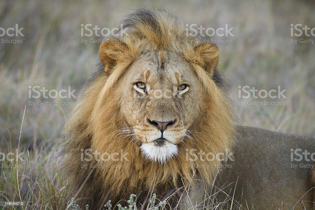 Lion stares into camera stock photo