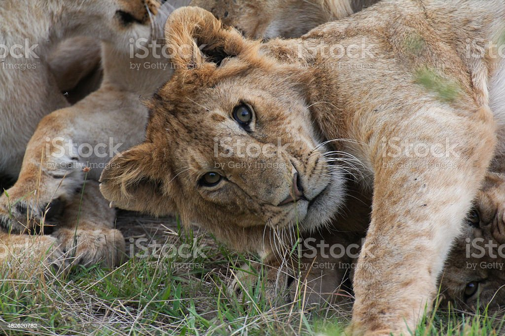 Lion staring royalty-free stock photo