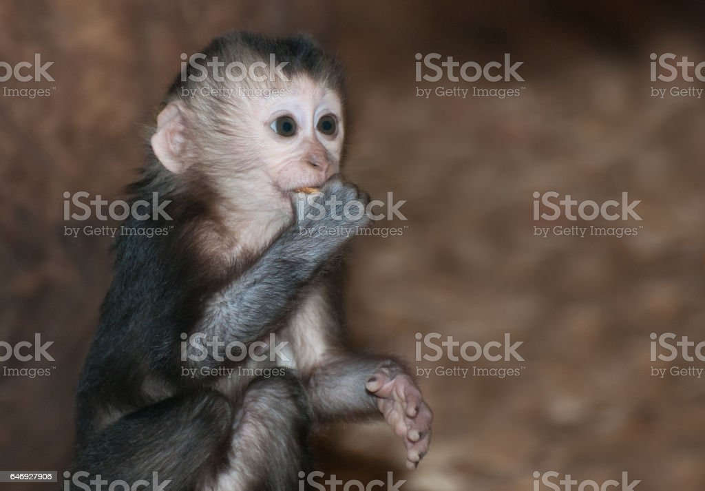 Lion Tailed Macaque baby stock photo