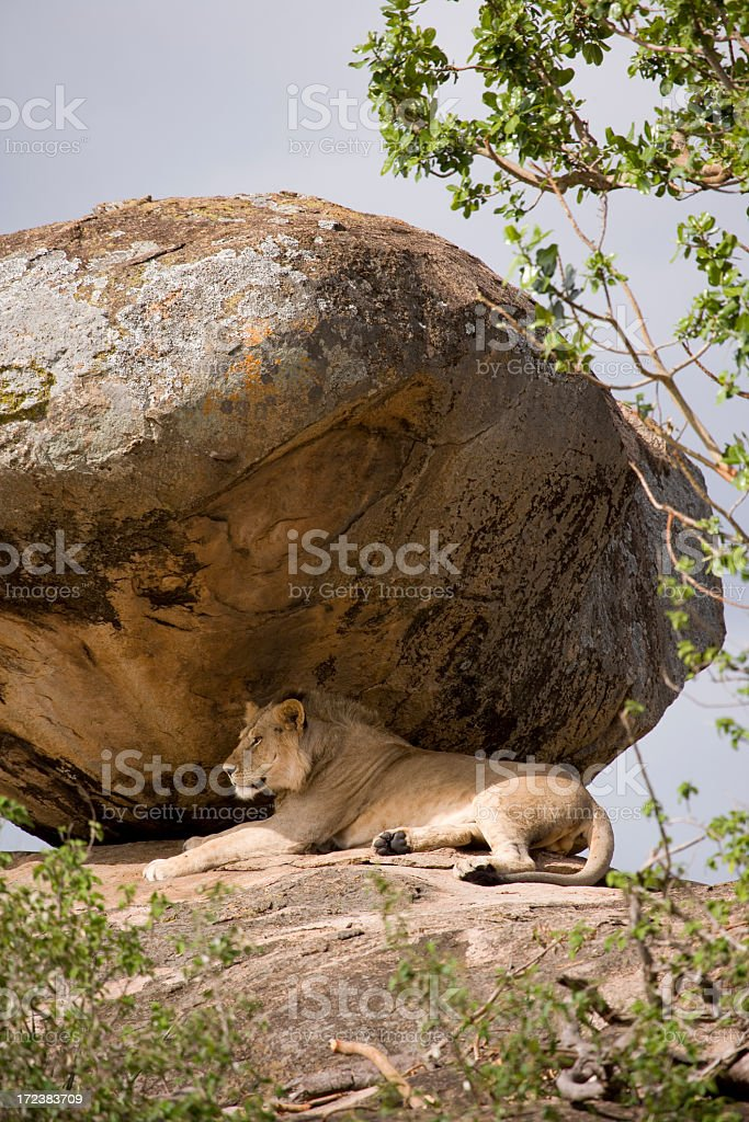 lion taking an afternoon nap on a rocky outcropping stock photo