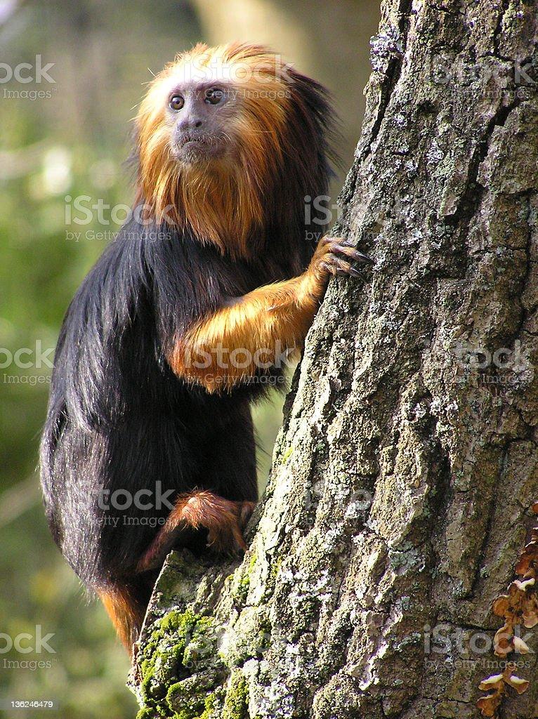 Lion Tamarin stock photo
