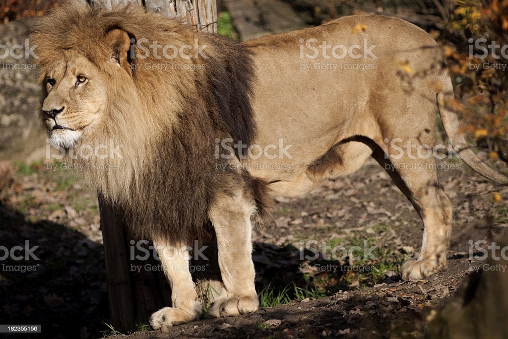 Lion the natural habitat royalty-free stock photo