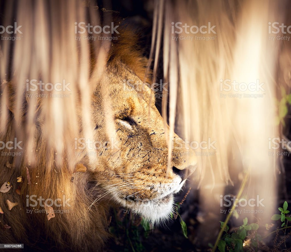 Lion Under The Tree stock photo