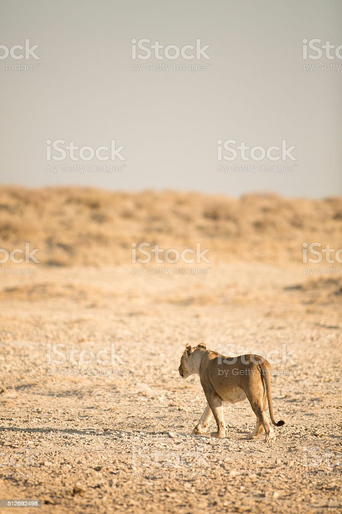 Lion walking in Etosha National Park. stock photo
