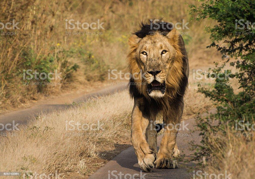 Lion walking in Jungle of Gir National Park & Wildlife stock photo