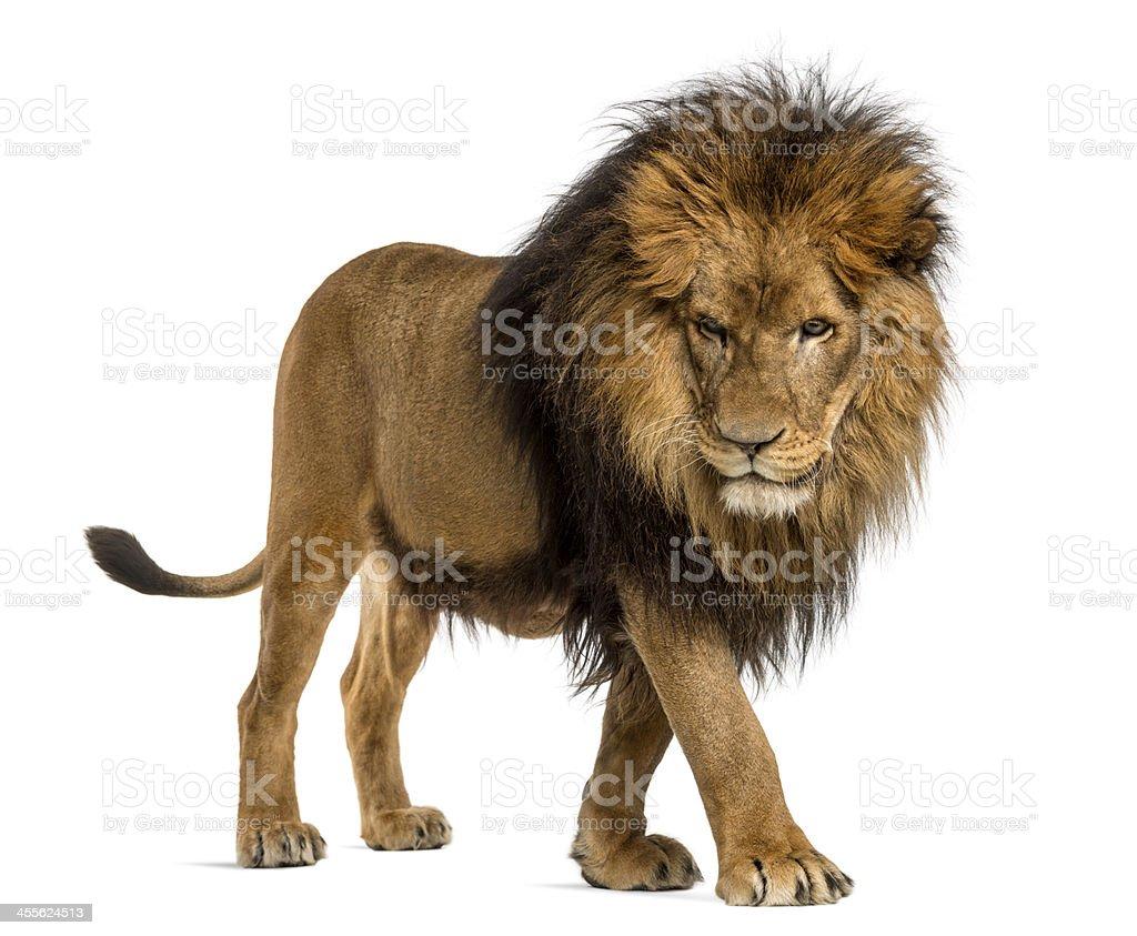 Lion walking, looking down, Panthera Leo, 10 years stock photo