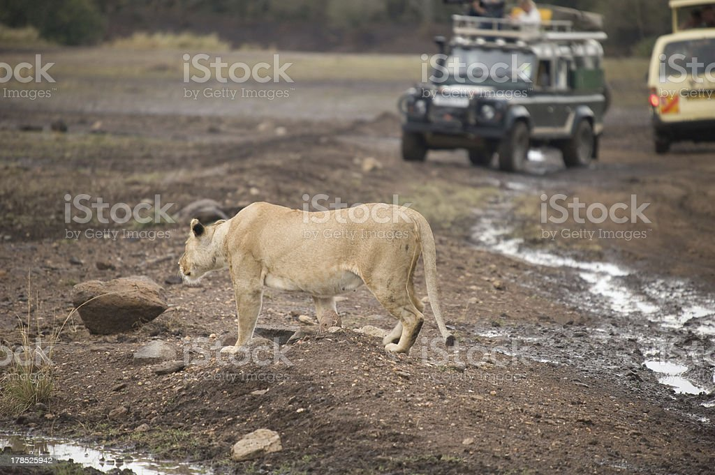 Lion walking on a road royalty-free stock photo