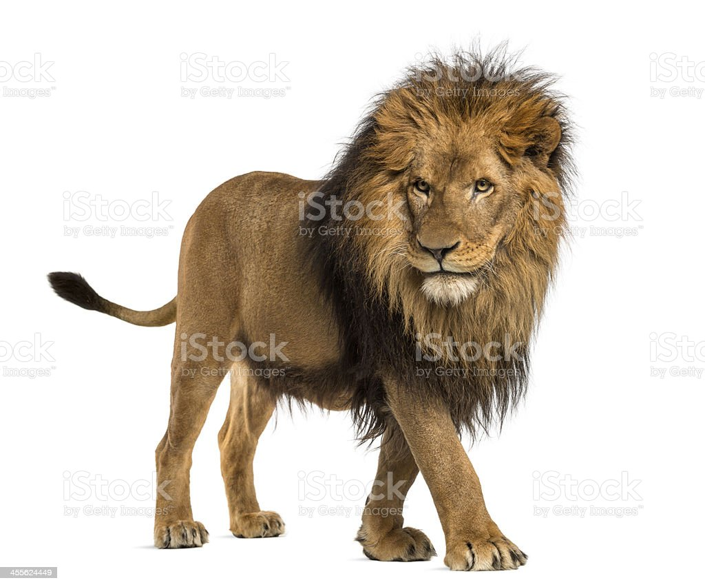 Lion walking, Panthera Leo, 10 years old, isolated stock photo