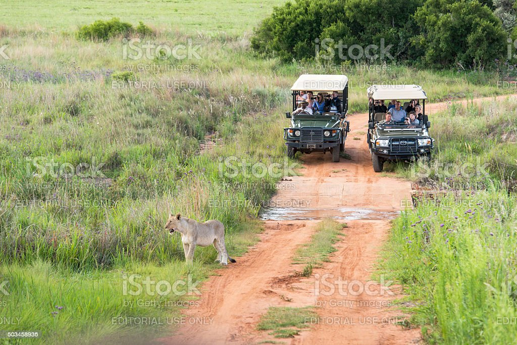 Lion watched by tourists with cameras in safari vehicles stock photo