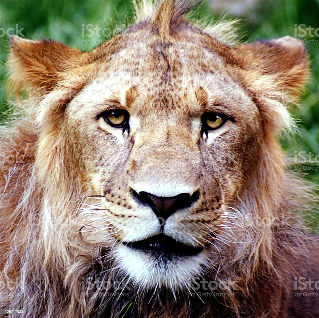 Lion with a mohawk royalty-free stock photo