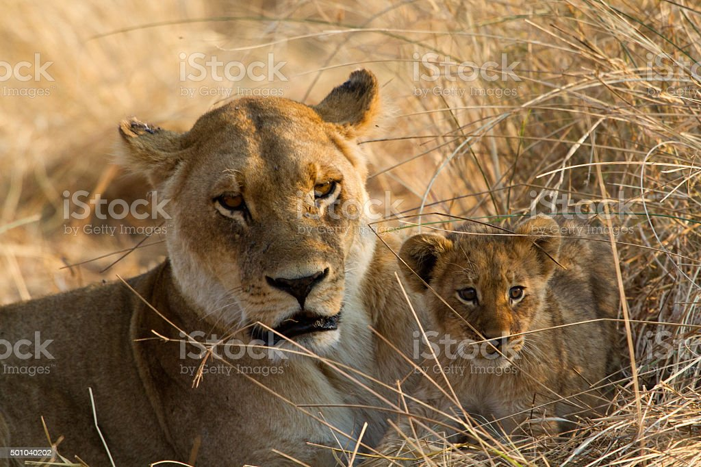 Con cachorro de león foto de stock libre de derechos