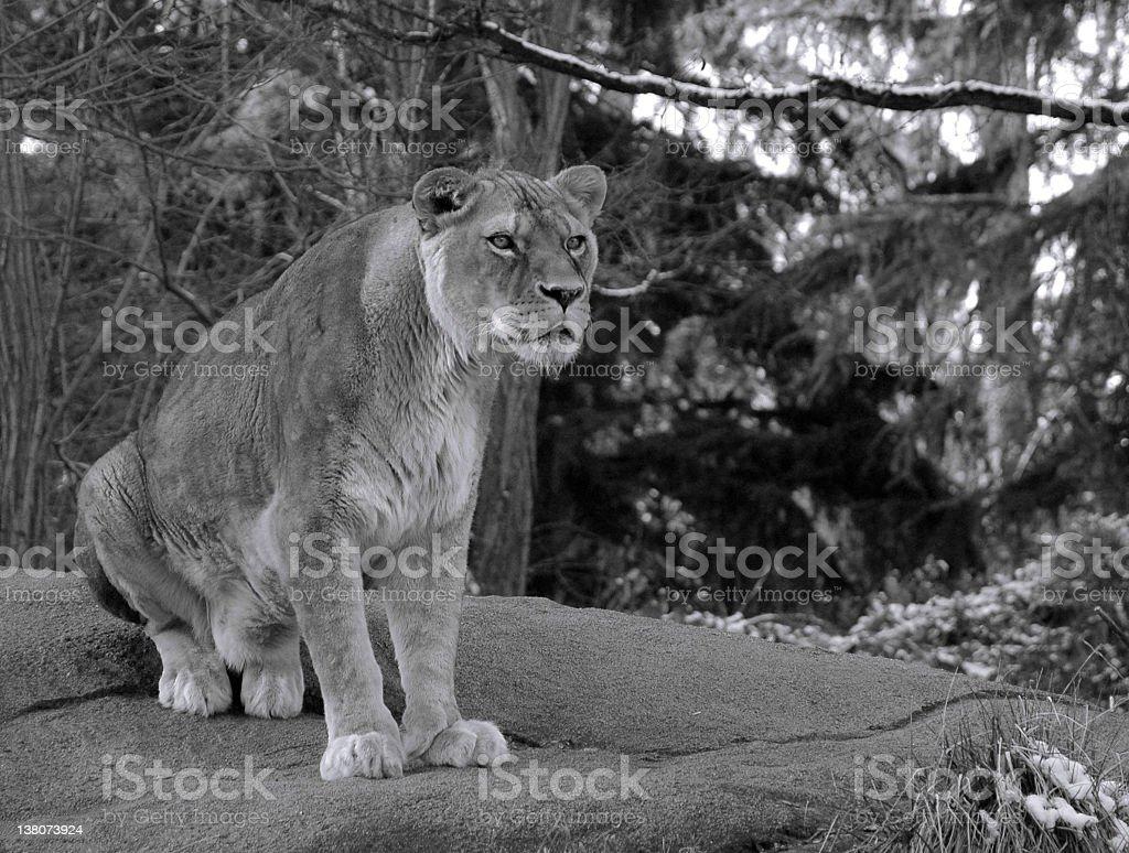 Lion Woodland Park Zoo royalty-free stock photo