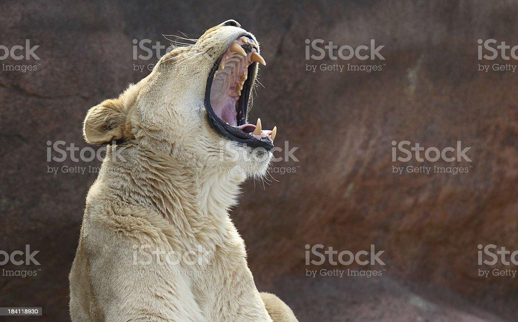 Lion Yawning royalty-free stock photo