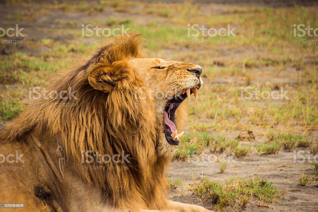 Lion Yawning stock photo