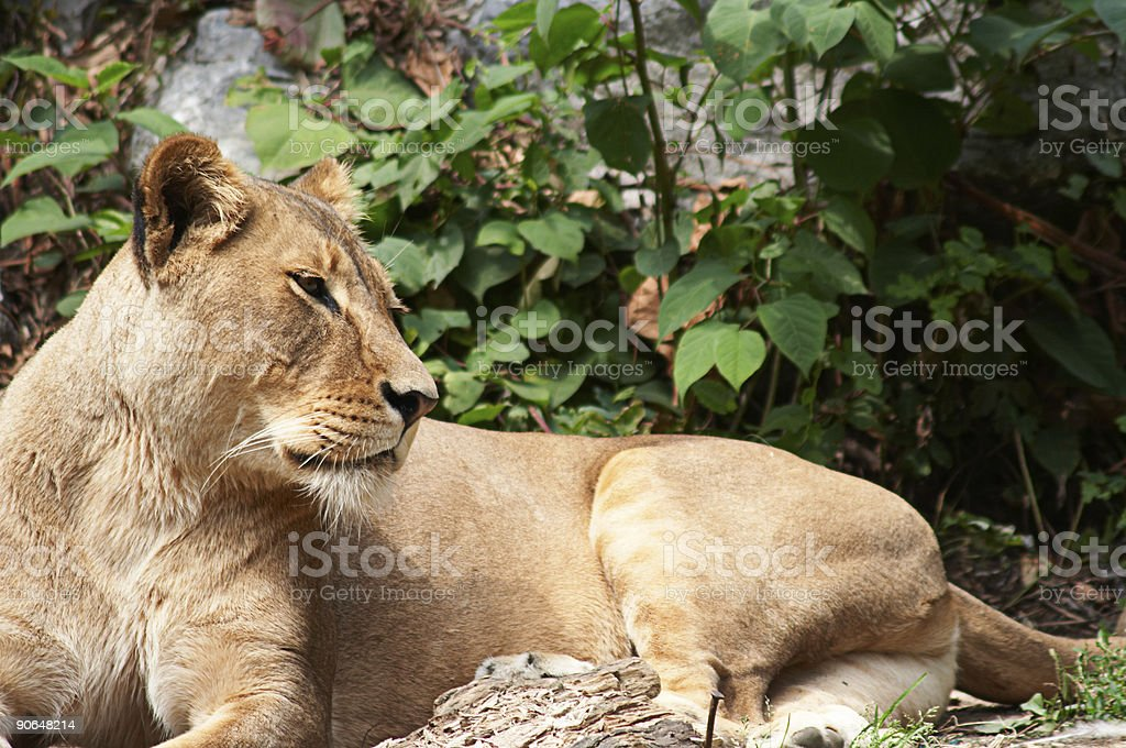 Lioness 2 royalty-free stock photo