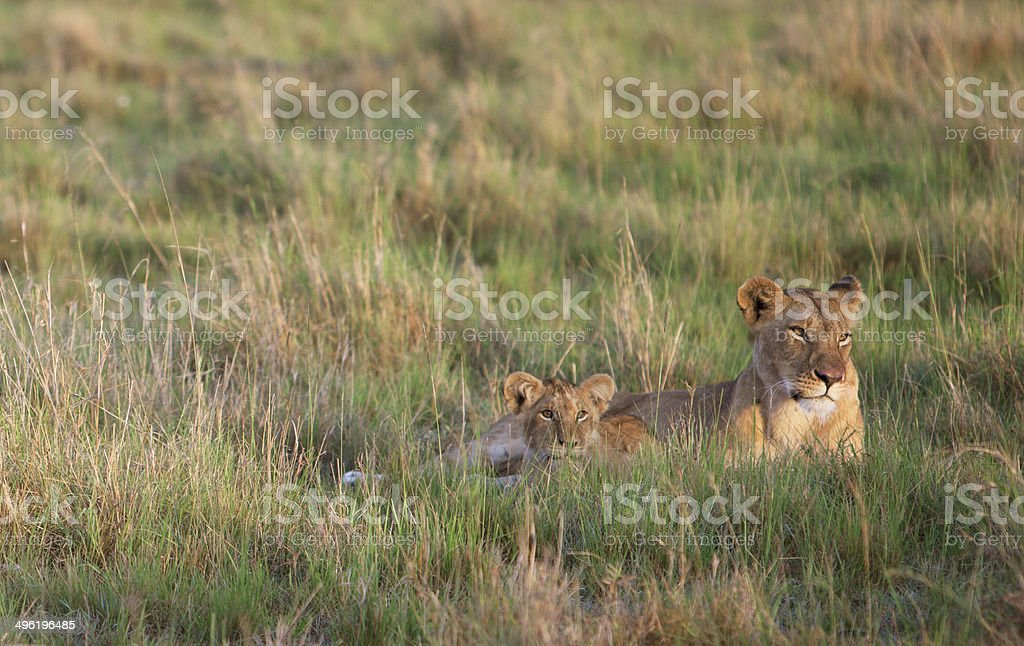 Lioness and cab stock photo