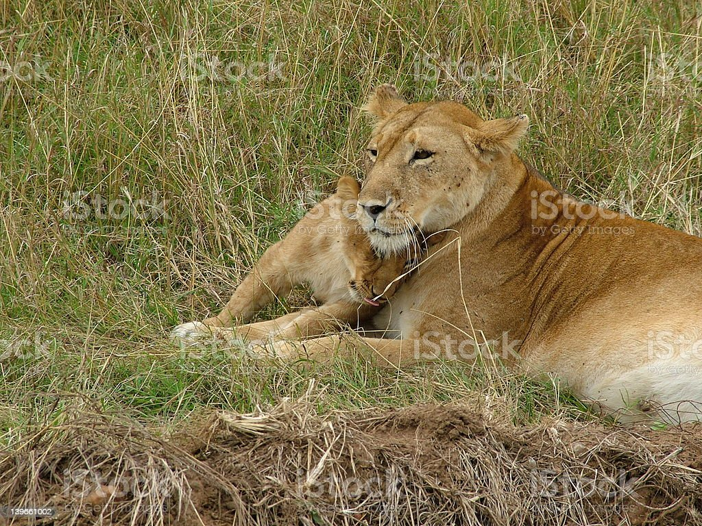 Lioness and cub royalty-free stock photo