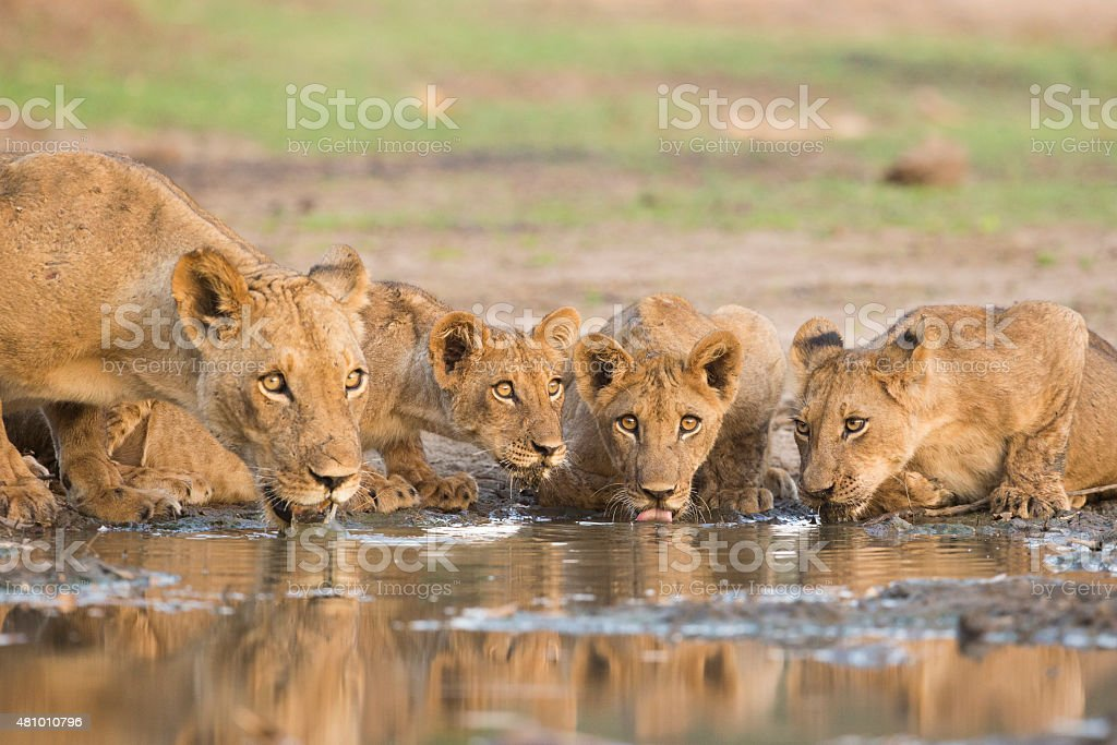 Lioness (Panthera leo) and cubs drinking stock photo