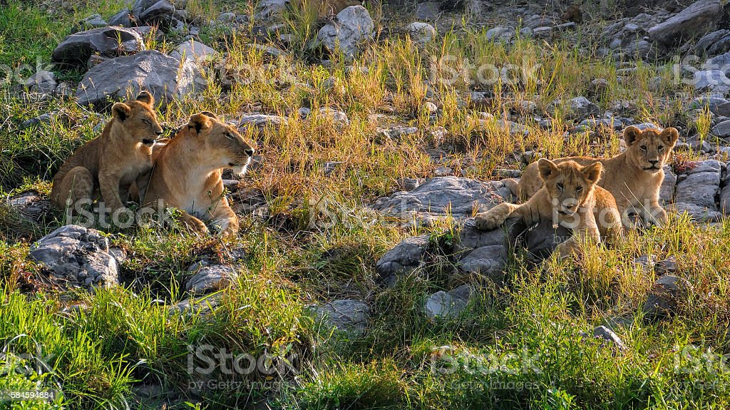 Lioness and cubs stock photo