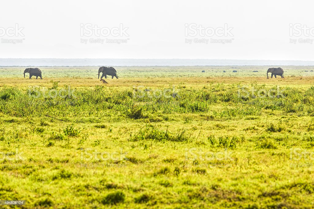 Lioness and Elephants stock photo
