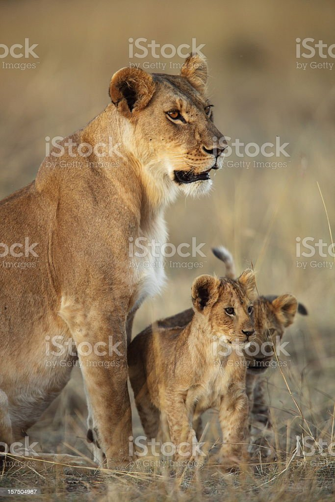 Lioness and her cubs royalty-free stock photo
