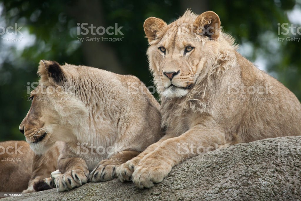 Lioness and juvenile male lion (Panthera leo). stock photo