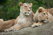 Lioness and juvenile male lion (Panthera leo).