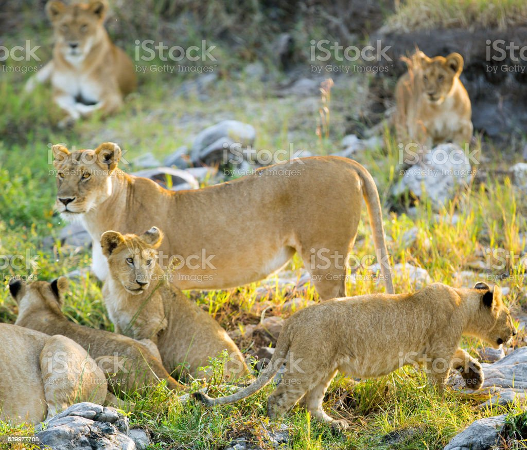 Lioness and lion cubs at the sunlight stock photo