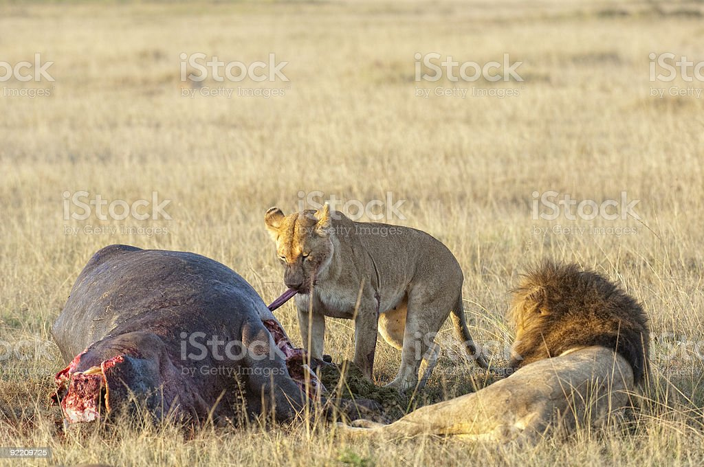 Lioness and lion on hippo kill royalty-free stock photo