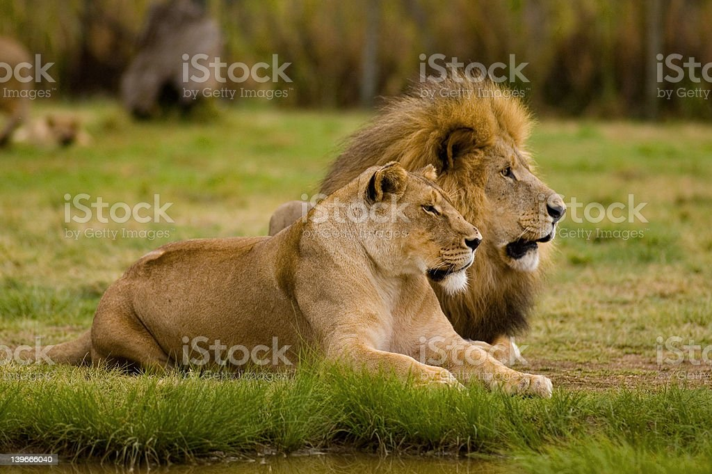 Lioness and Lion stock photo