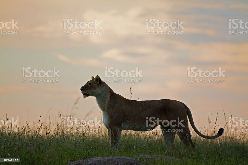 Lioness at dusk stock photo