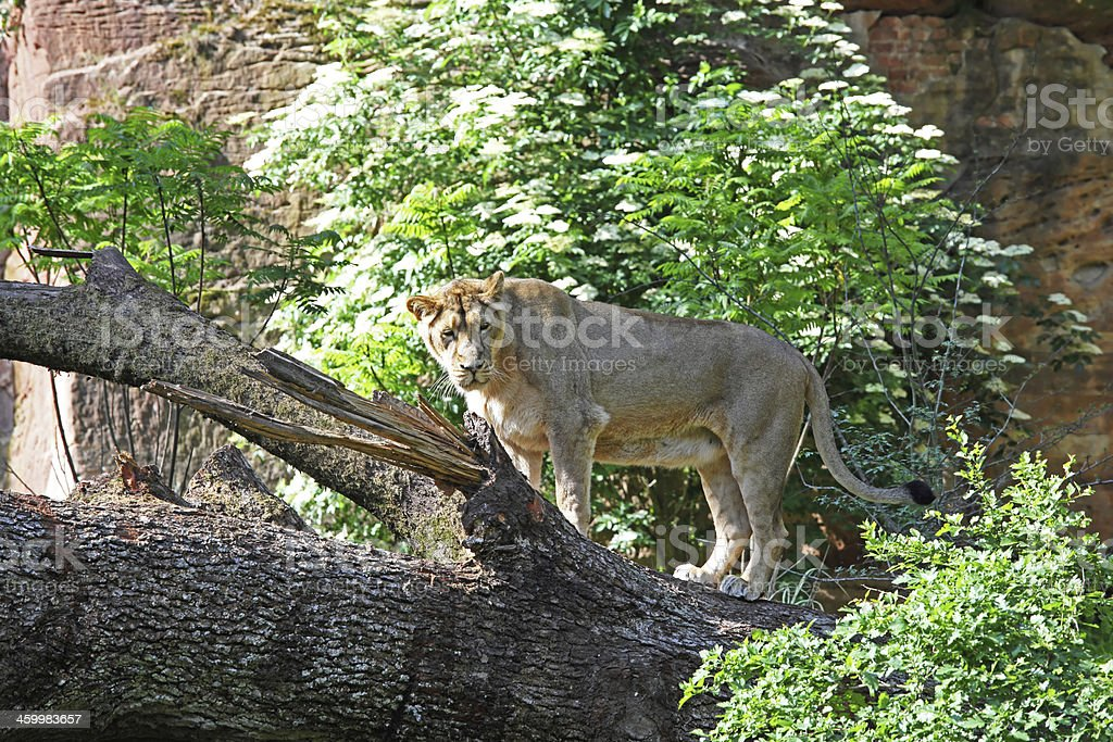 Lioness at the tree royalty-free stock photo