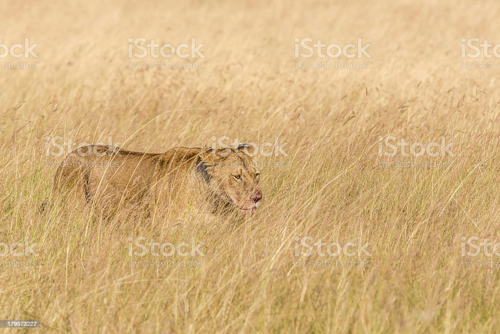 Lioness at wild - after hunting stock photo