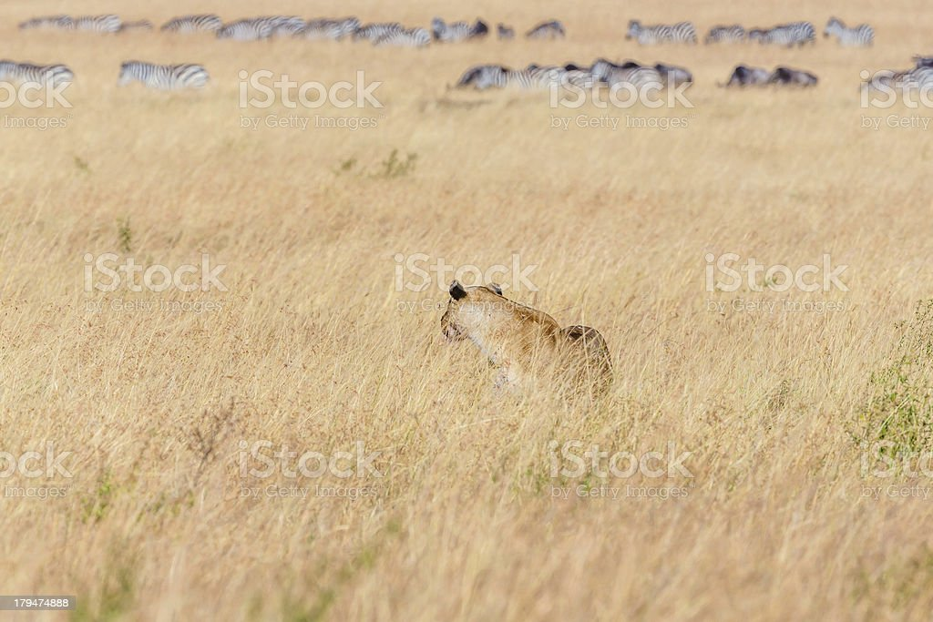 Lioness at wild - hunting and watching / dreaming stock photo