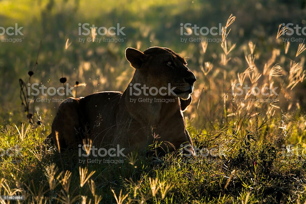 Lioness at wild - in bushes / back lit stock photo