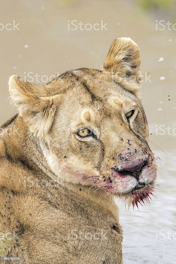 Lioness at wild - in water after eating royalty-free stock photo