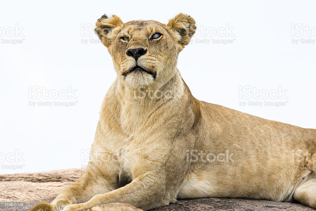 Lioness at wild - one eye is blind royalty-free stock photo