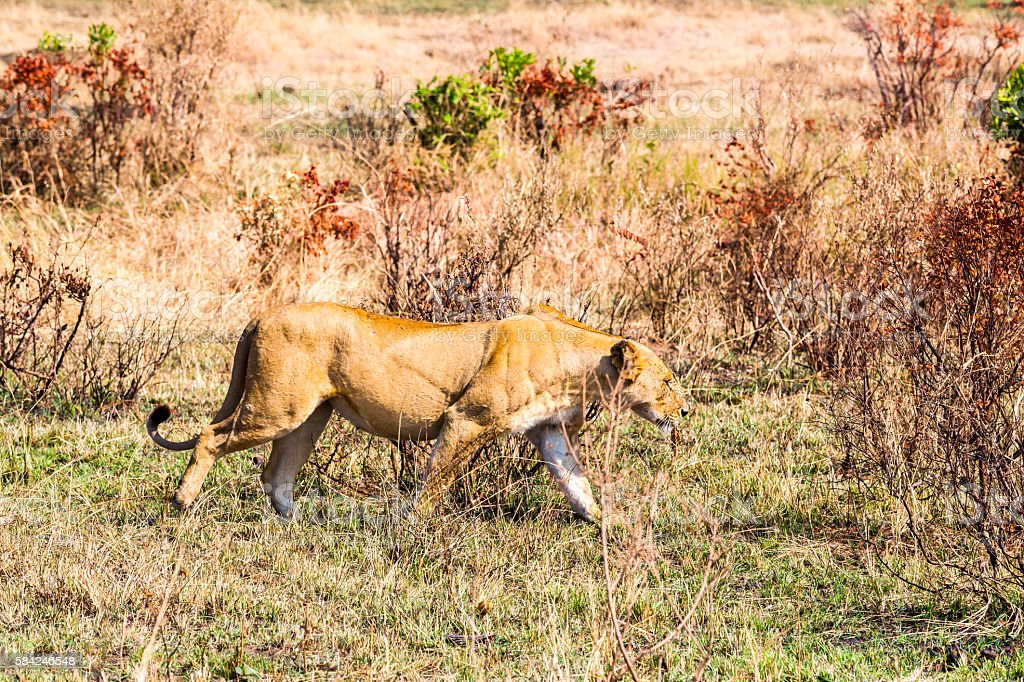 Lioness at wild stock photo
