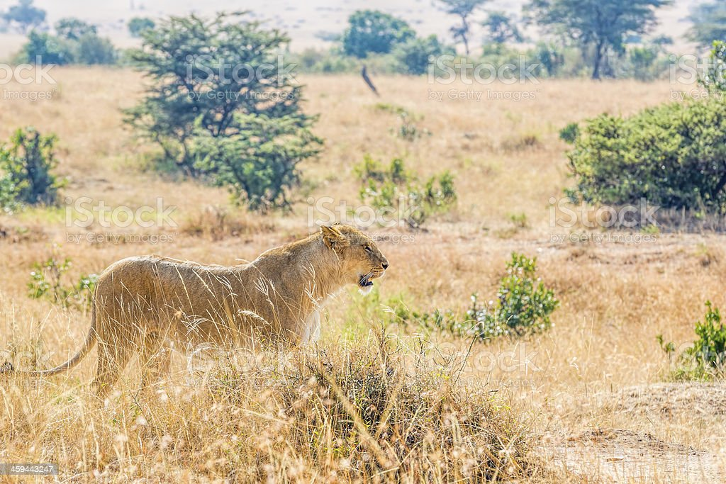 Lioness at wild - ready to hunting stock photo